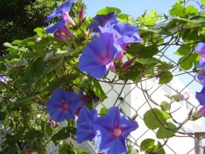 2008年10月19日の神戸の朝顔