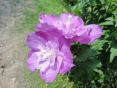 2010年8月3日 高知県立牧野植物園内 アオイの花2
