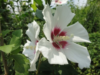 2010年8月3日 高知県立牧野植物園内 アオイの花3