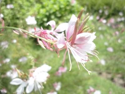 2010年8月3日 高知県立牧野植物園内 花1