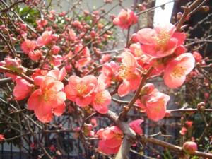 2009年3月19日のボケの花