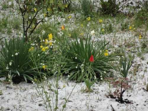 2010年4月17日 雪とチューリップ