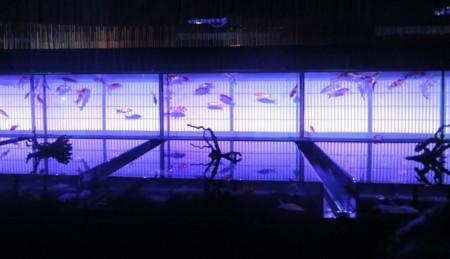 「アートアクアリウム2013 江戸・金魚の涼」7